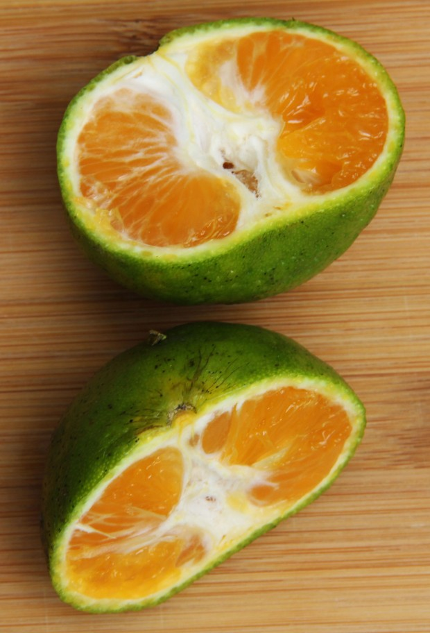 Delicious, fully ripe, oranges for juicing