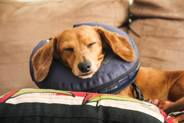 """Belly full of treats..resting on her neck """"pillow"""" ( she has a paw chewing problem we are trying to solve)"""